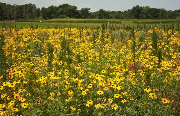 Cultivo de girassóis para produzir biocombustível (Foto: Divulgação/Universidade do Estado de Michigan)